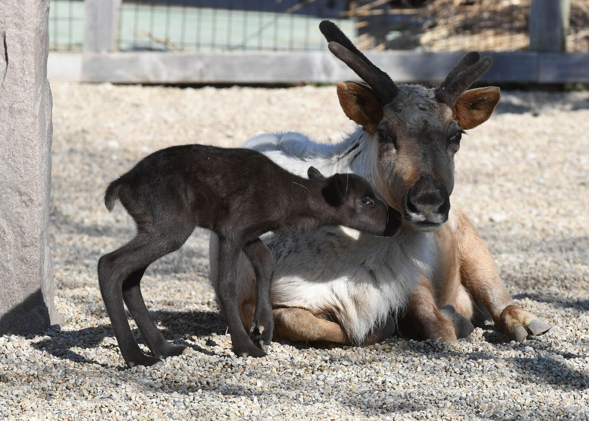 The baby reindeer is the first born at Brookfield Zoo since 1980.   Jim Schulz/Chicago Zoological Society