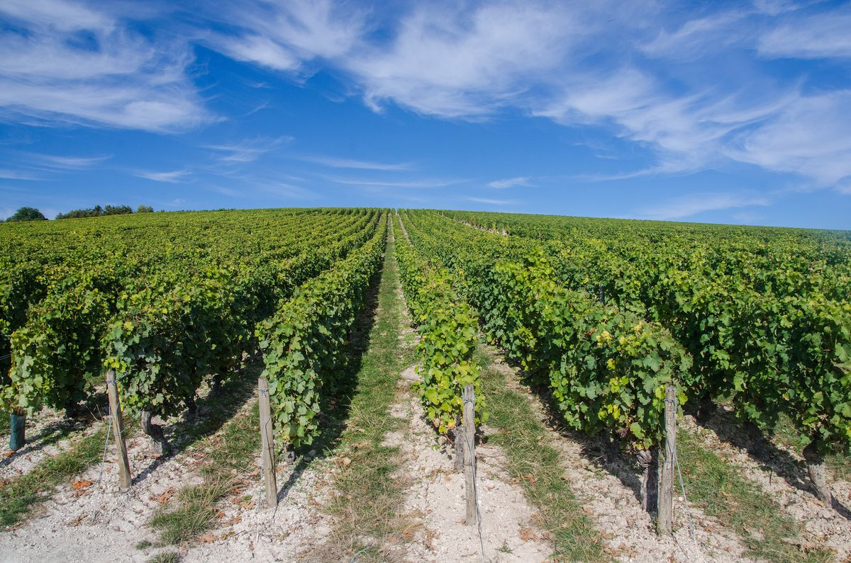 A grape vineyard set against a bright blue sky with sweeping cirrus clouds