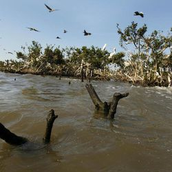 Dead mangrove stumps are seen in the water near the eroding shoreline of Cat Island in Barataria Bay in Plaquemines Parish, La., Wednesday, April 11, 2012.