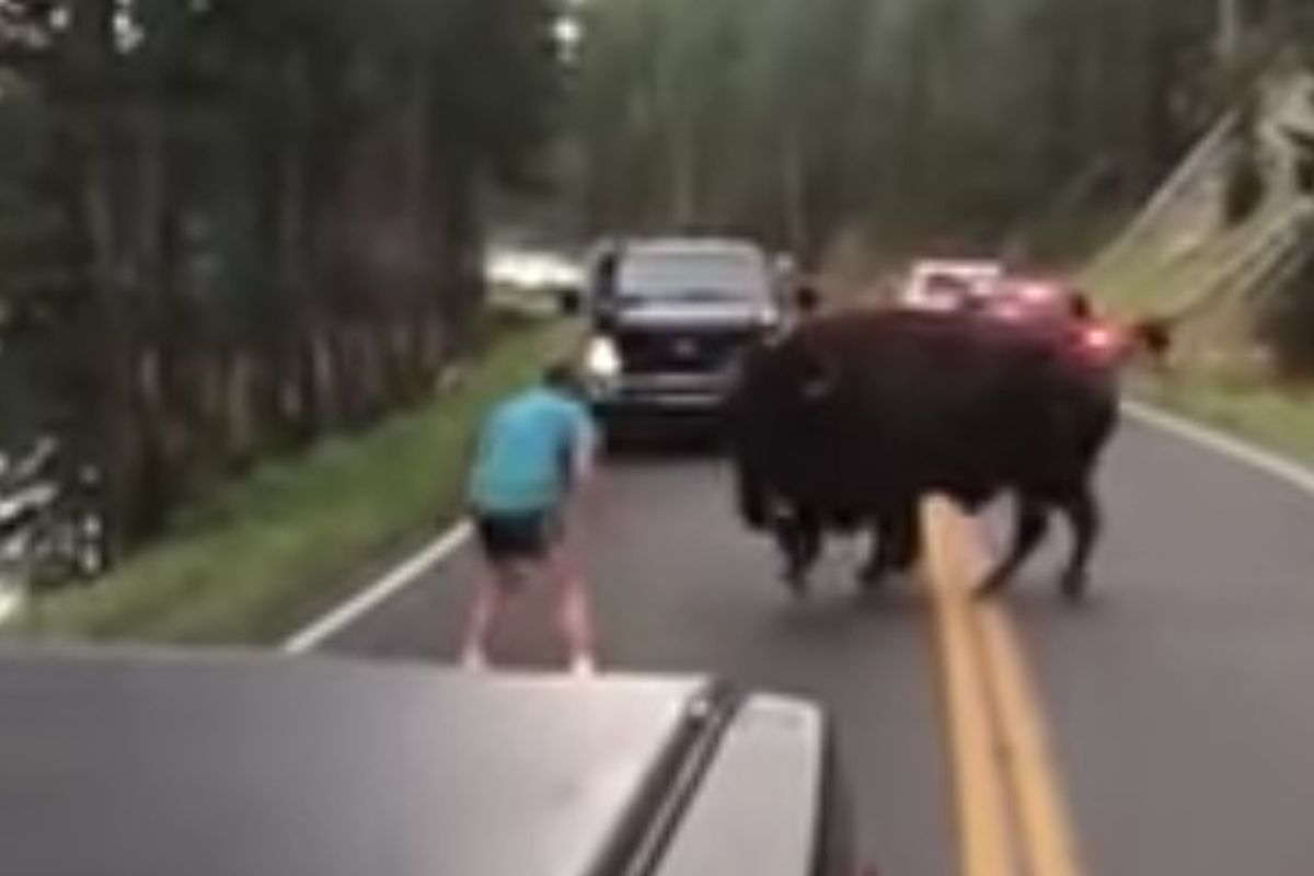 A Yellowstone Park visitor captured a video of a man taunting a buffalo in the middle of one of the park's roads.