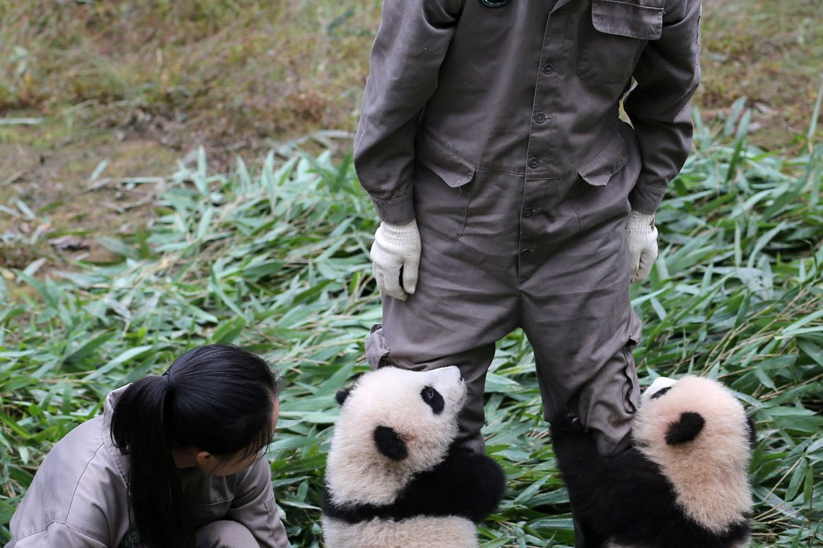 Giant Panda Cubs Born In 2017 Meet The Public In Sichuan