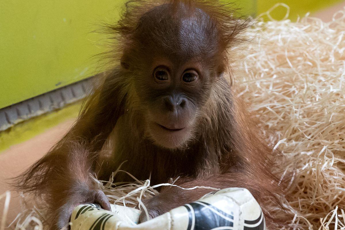 Football mad baby orangutan