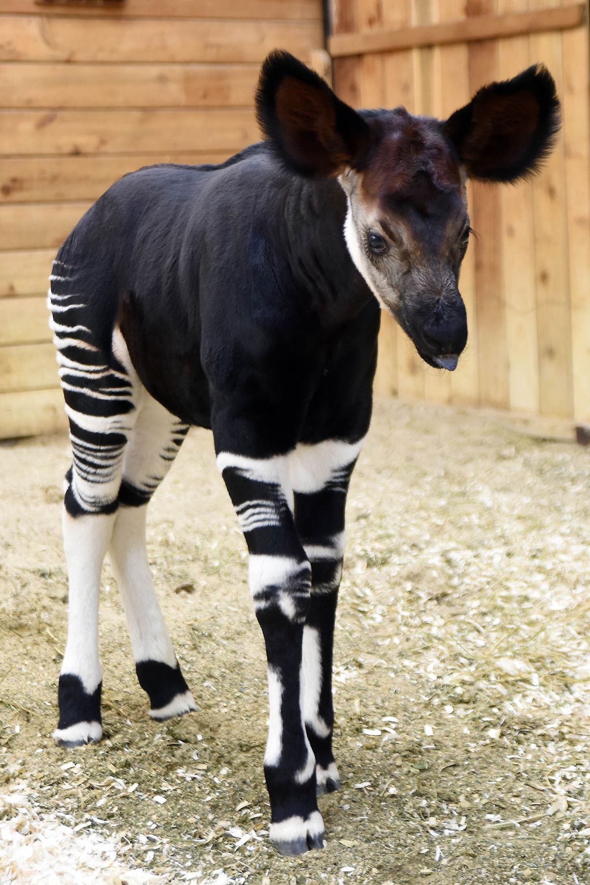 Will, an okapi calf born at Brookfield Zoo on April 21 is the 27th successful okapi born at the zoo. |Jim Schulz/Chicago Zoological Society