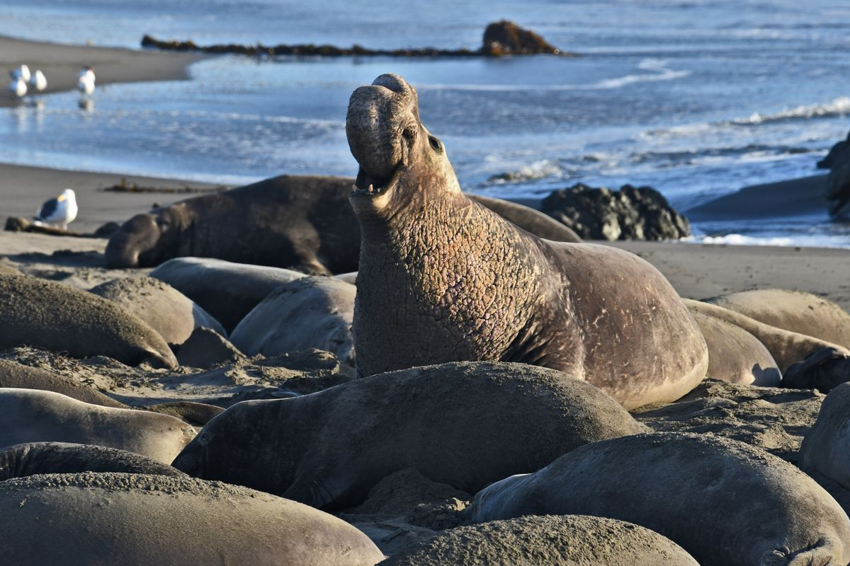 thousands of elephant seals shut down north bay beach curbed sf