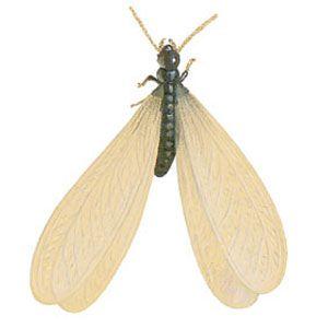 <p>Drywood termite</p>