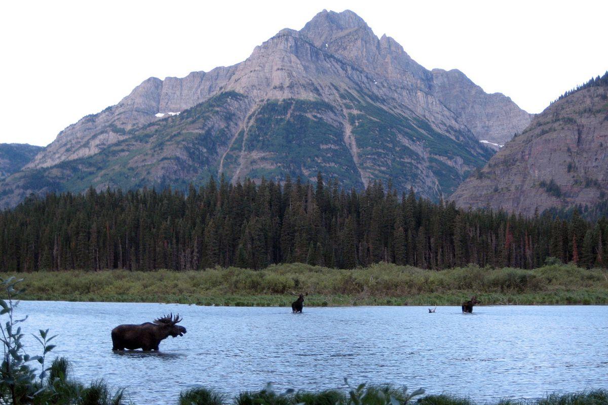 moose (flickr)