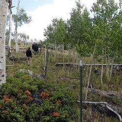 Young sprouts from the Pando clone survive inside the fence, at right, but are absent outside the fence.