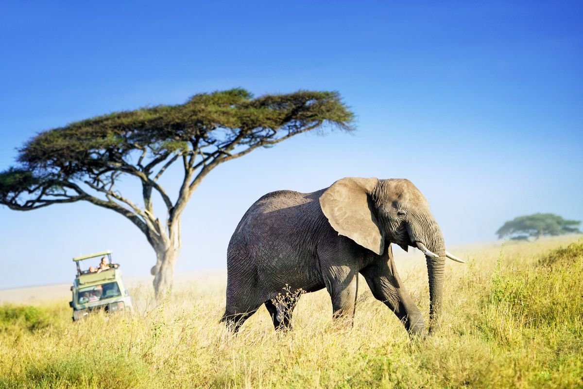A large African elephant walks across a grassy plain and under a tree.