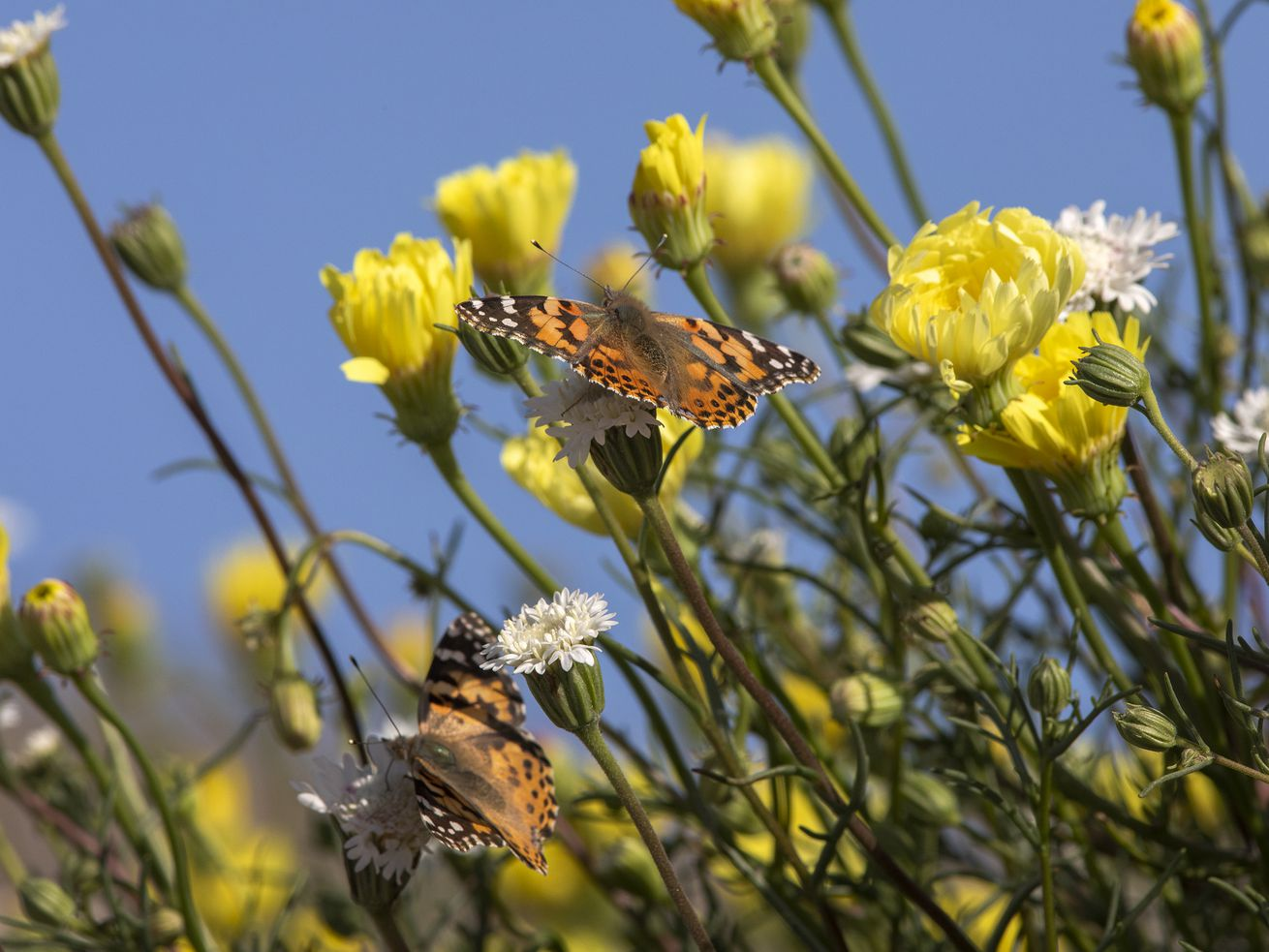 A painted lady feeds on nectar near Thousand Palms on March 9.