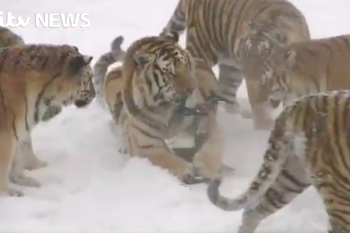 tigers eating a drone