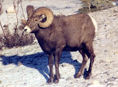 Bighorn Gaudreau