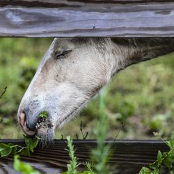 A wild pony from the southern herd enjoys a snack as it rests in a pen on Assateague Island, Va., after being gathered and given a vet check before their swim to Chincoteague Island onTuesday, July 23, 2019.