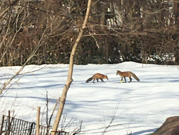 Red foxes in Beverly. Provided by Ed Van Cleave