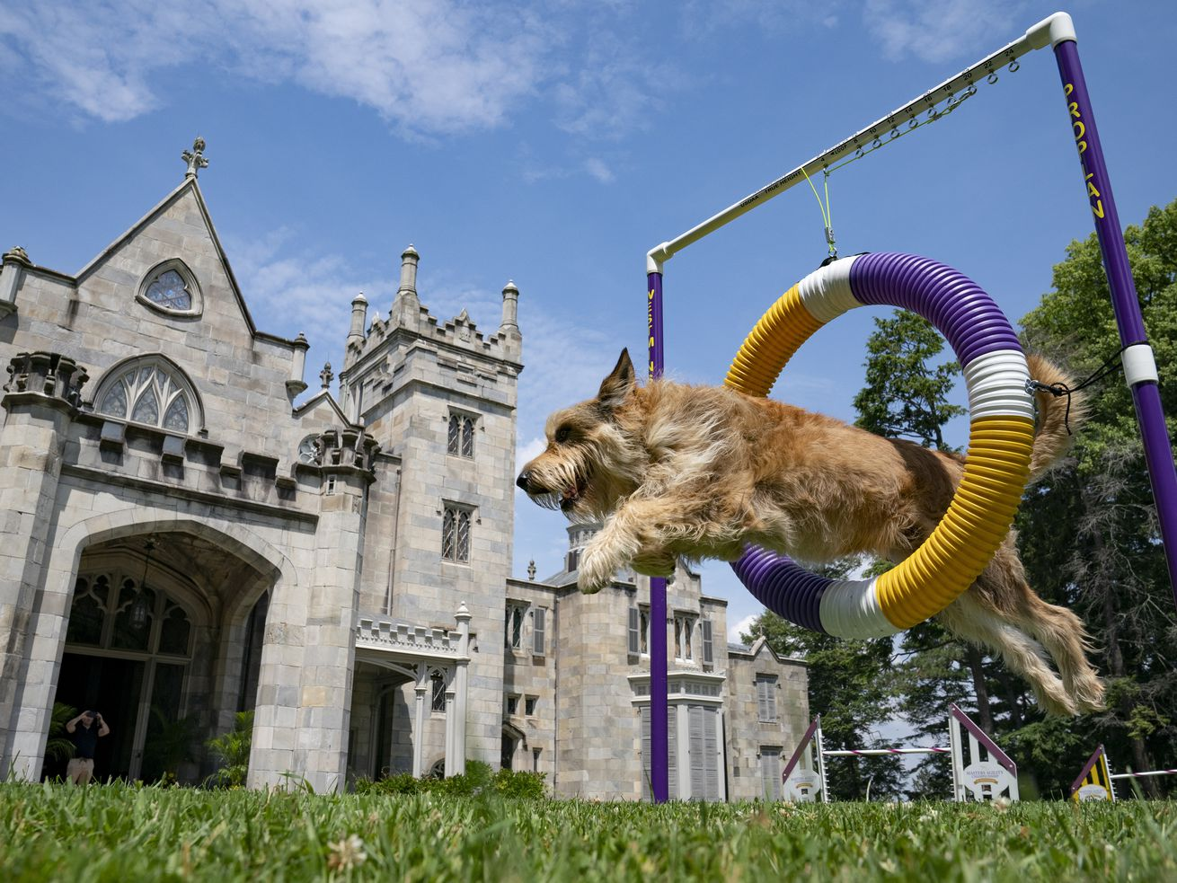 Chet, a berger picard, performs a jump in an agility obstacle in Tarrytown, New York, at the Lyndhurst Estate where the 145th Annual Westminster Kennel Club Dog Show will be held outdoors.