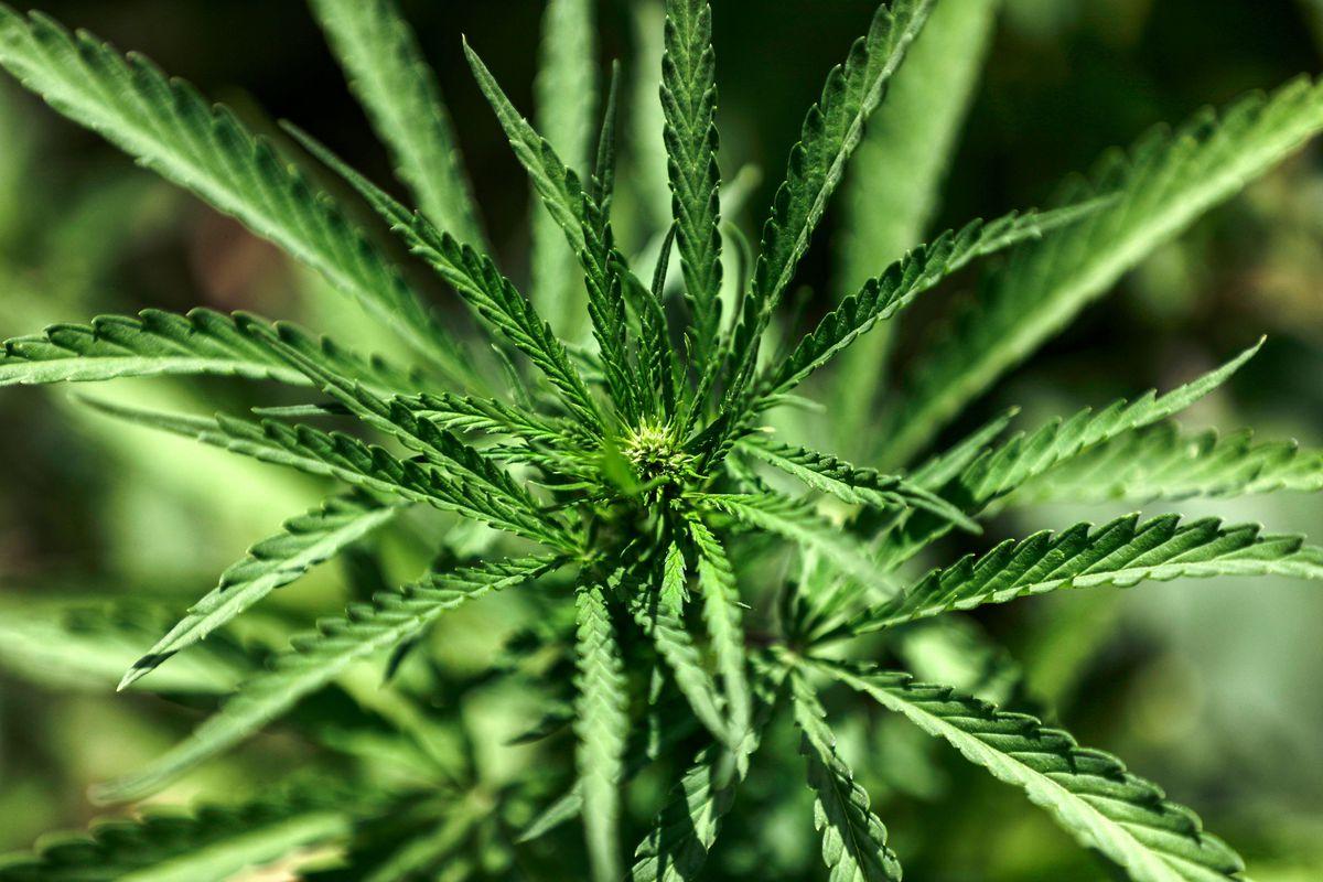 A marijuana plant.
