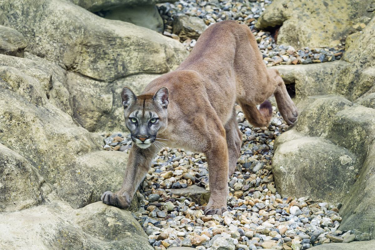 A runner in Colorado killed an attacking mountain lion