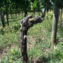 The first pinot noir vine planted in the Willamette Valley, Oregon. Eyrie Vineyards.