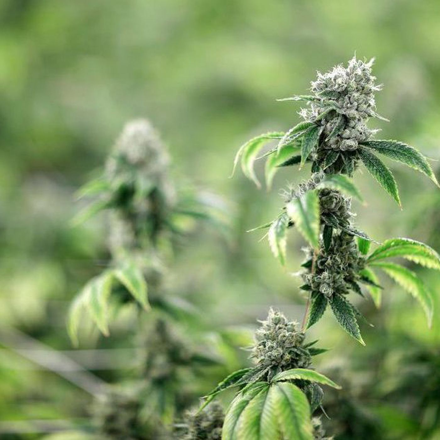 CBD Oil: What is it? Is it legal in Illinois? What