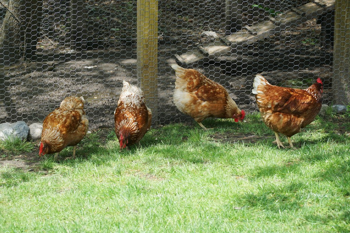 The City Council on Tuesday adopted an ordinance allowing backyard chickens in residential neighborhoods. The measure passed on a 4-3 vote.