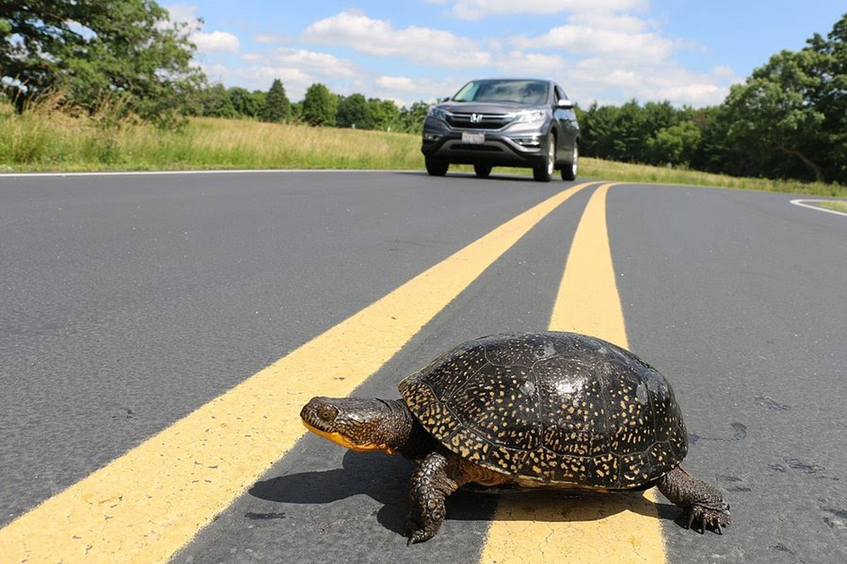 You know why the turtle wants to cross the road — so watch out, or you'll run it over.