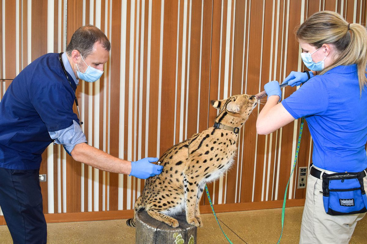 Kyan, one of Brookfield Zoo's servals, receives a COVID-19 vaccine from Dr. MikeAdkesson, vice president of clinical medicine for the Chicago Zoological Society. He is assisted by Maggie Chardell, a lead animal care specialist.Due to the respectful and trusting relationships developed between the animals and the care staff, many of the zoo's animals voluntarily participate in their own health care, including holding still while the vaccination is administered.