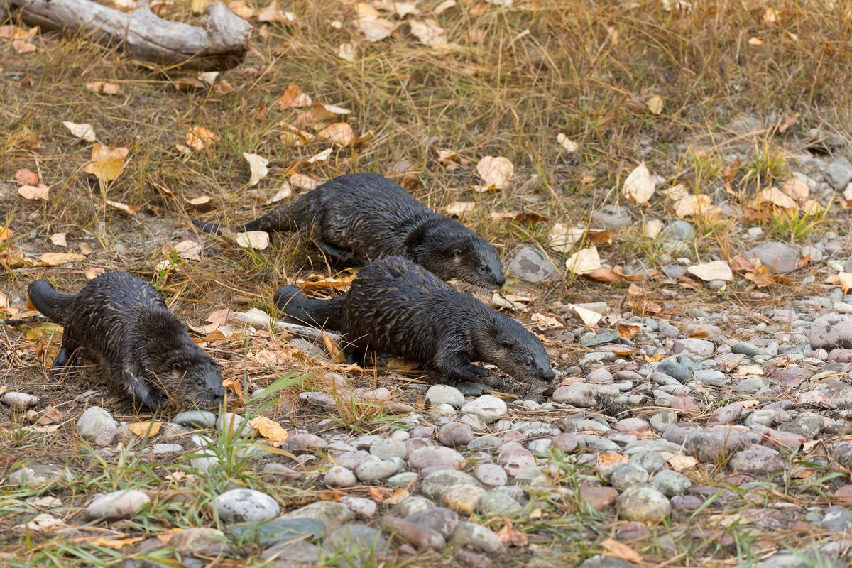 North American River Otter (Lontra canadensis) 3 adults runnining on river bank, Montana, USA, October, controlled subject