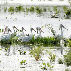In this photo Wednesday, July 9, 2014, pelicans gather in a man made wetland project near Fairfield, Texas. As slow-moving, turbid water snakes through the man-made wetland, phosphorous and nitrates are slowly filtered out through shallow ponds full of lush vegetation and water birds until, a week later, the water runs clear as a creek  directly into a North Texas drinking supply.