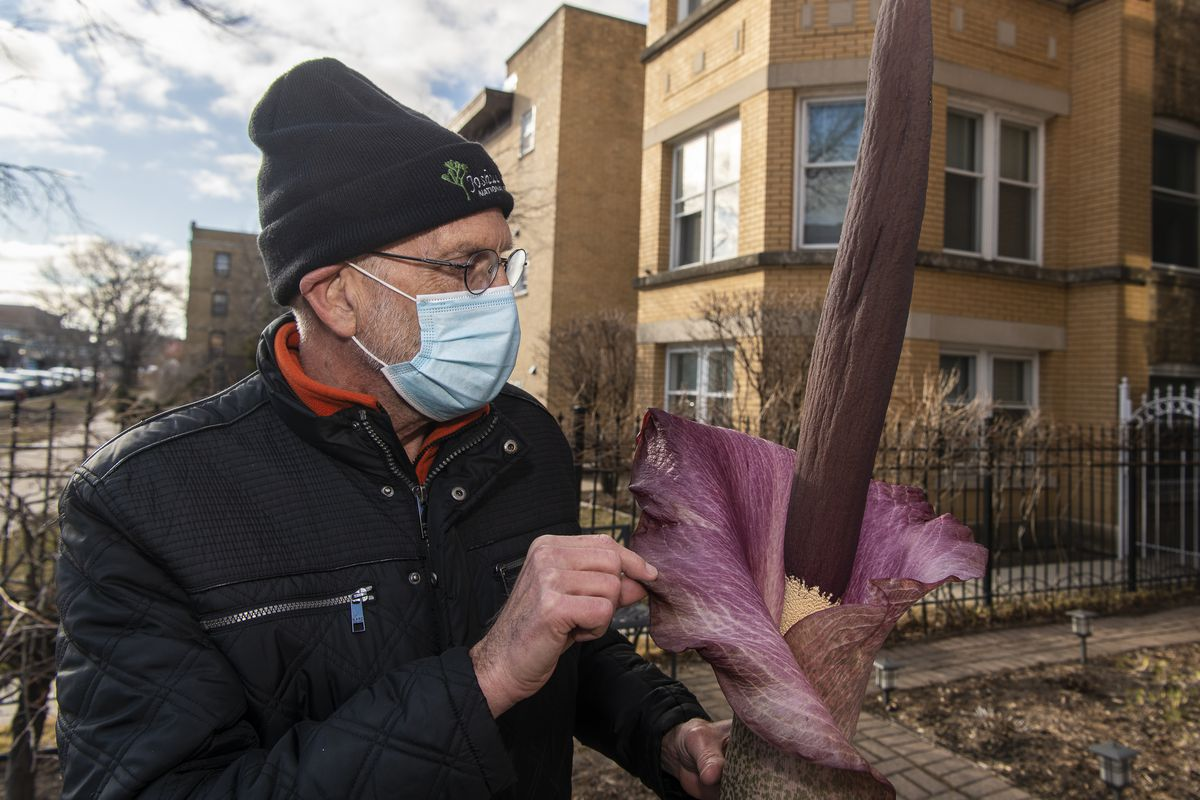 Dale Wheeler looks inside a blooming corpse flower that he grew in his Rogers Park home.