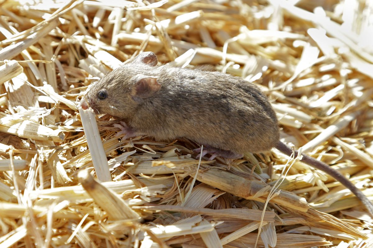 A mouse sits on hay at Bruce Barnes' family's farm near Bogan Gate, Australia, on May 20, 2021. Mice have plagued Australia.