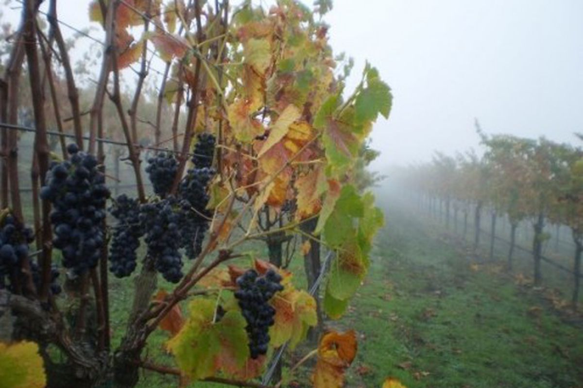 Syrah on the hang in the fogged-in Clary Ranch Vineyard, one of the coolest (and best) Syrah sites in the state.