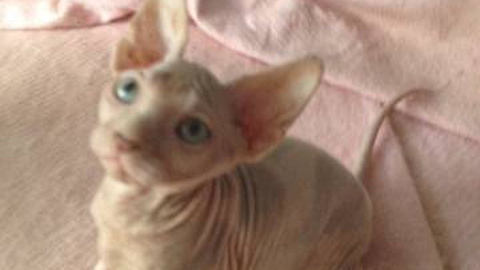 A Hairless Cat Named Griffin - Hogs Haven