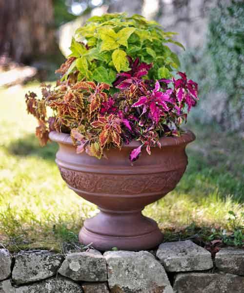 Coleus Plants In Garden Pot