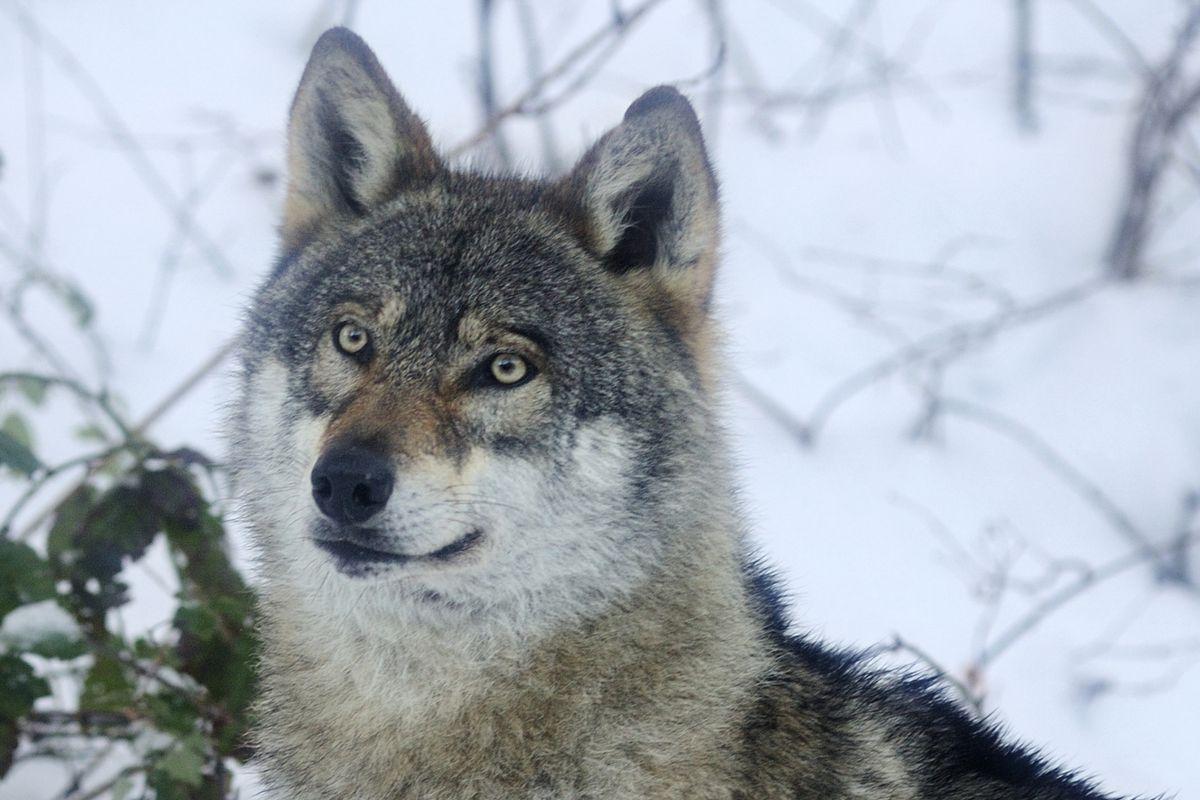 Grey wolf, in snow, Spormaggiore Wildlife Park