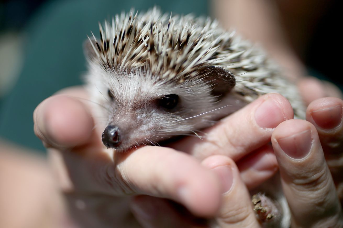 Snuggling hedgehogs isn't worth the salmonella says the CDC