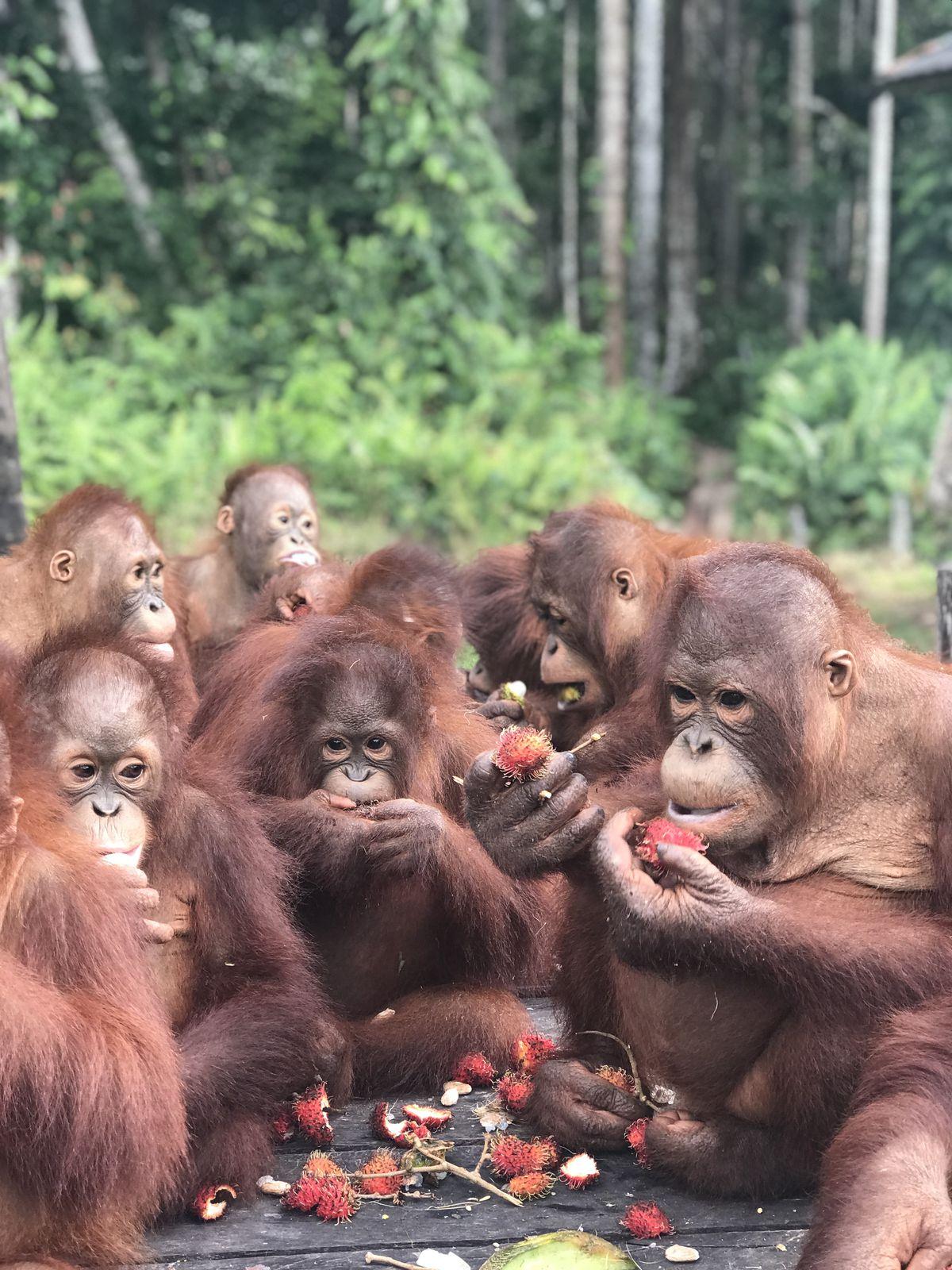 Orangutans enjoy a buffet of rambutan.