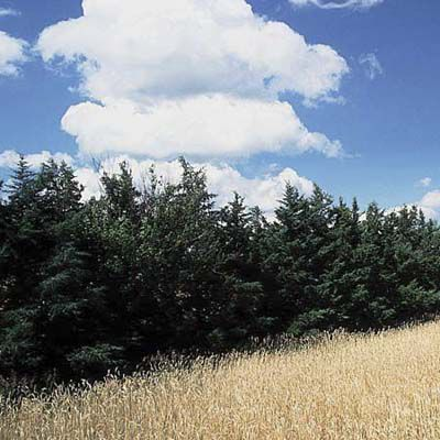 Eastern Red Cedar Tree For Privacy
