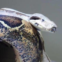 Snakes On A Plane U S Returns Boas Smuggled By Utahn To Brazil Deseret News
