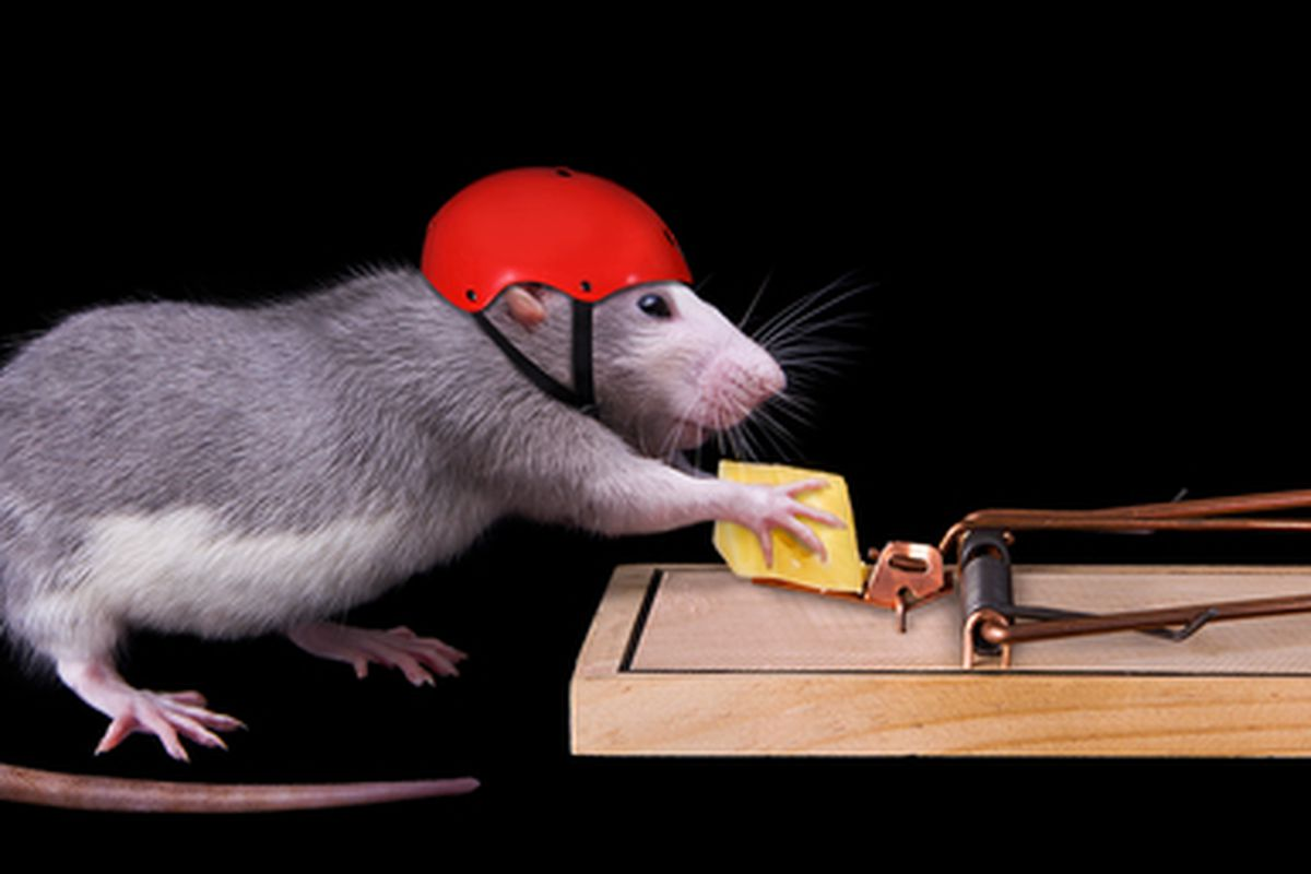 """Image credit: <a href=""""http://www.shutterstock.com/pic-68499115/stock-photo-a-rat-is-trying-to-steal-a-piece-of-cheese-that-is-bait-in-a-rat-trap-she-is-wearing-a-helmet-on.html?"""">Shutterstock/Cathy Keifer</a>"""