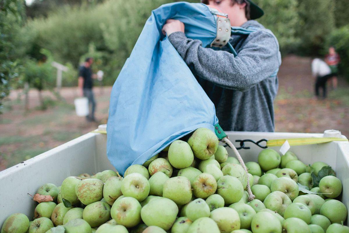 A Sonoma Cider harvest.