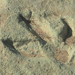 A new collection of dinosaur footprints left behind 125 million years ago near Moab will soon make its public debut. The tracks were discovered in 2009, but their location has been kept a secret.