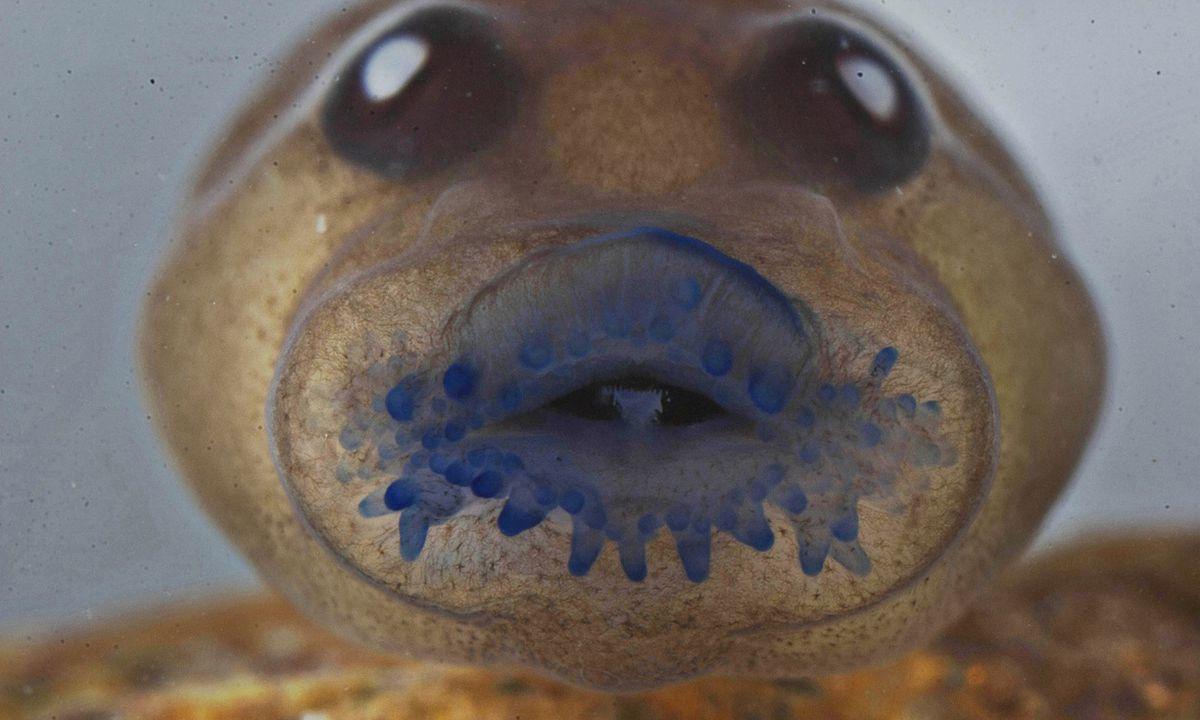 jerdon's tree frog's tadpole