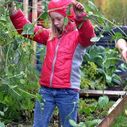 In this Sept. 17, 2012 photo, Eagle River Elementary School Optional Education student Jaime Simkins, 8, holds a pea plant up in Eagle River, Alaska. Simkins was one of about 100 Eagle River Elementary Optional Education students who picked vegetables from the program's four gardens to use for a potluck dinner the following night.
