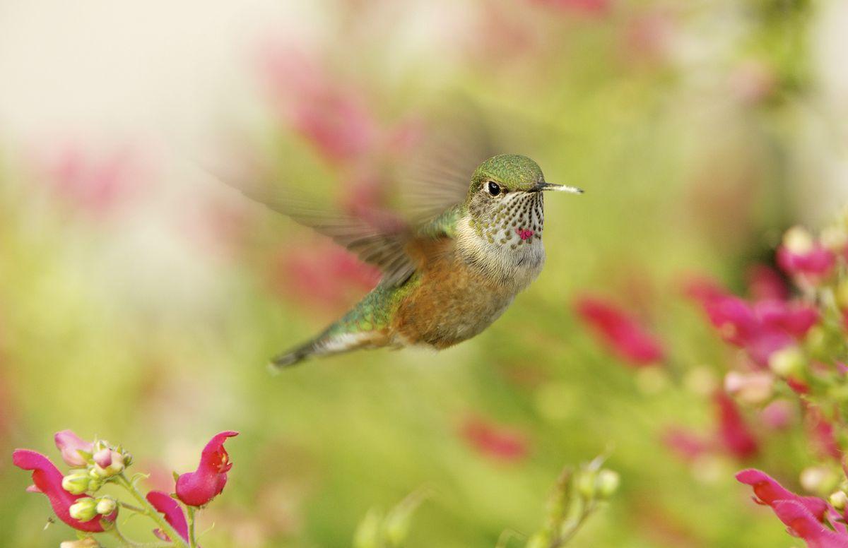 yellow pink hummingbird