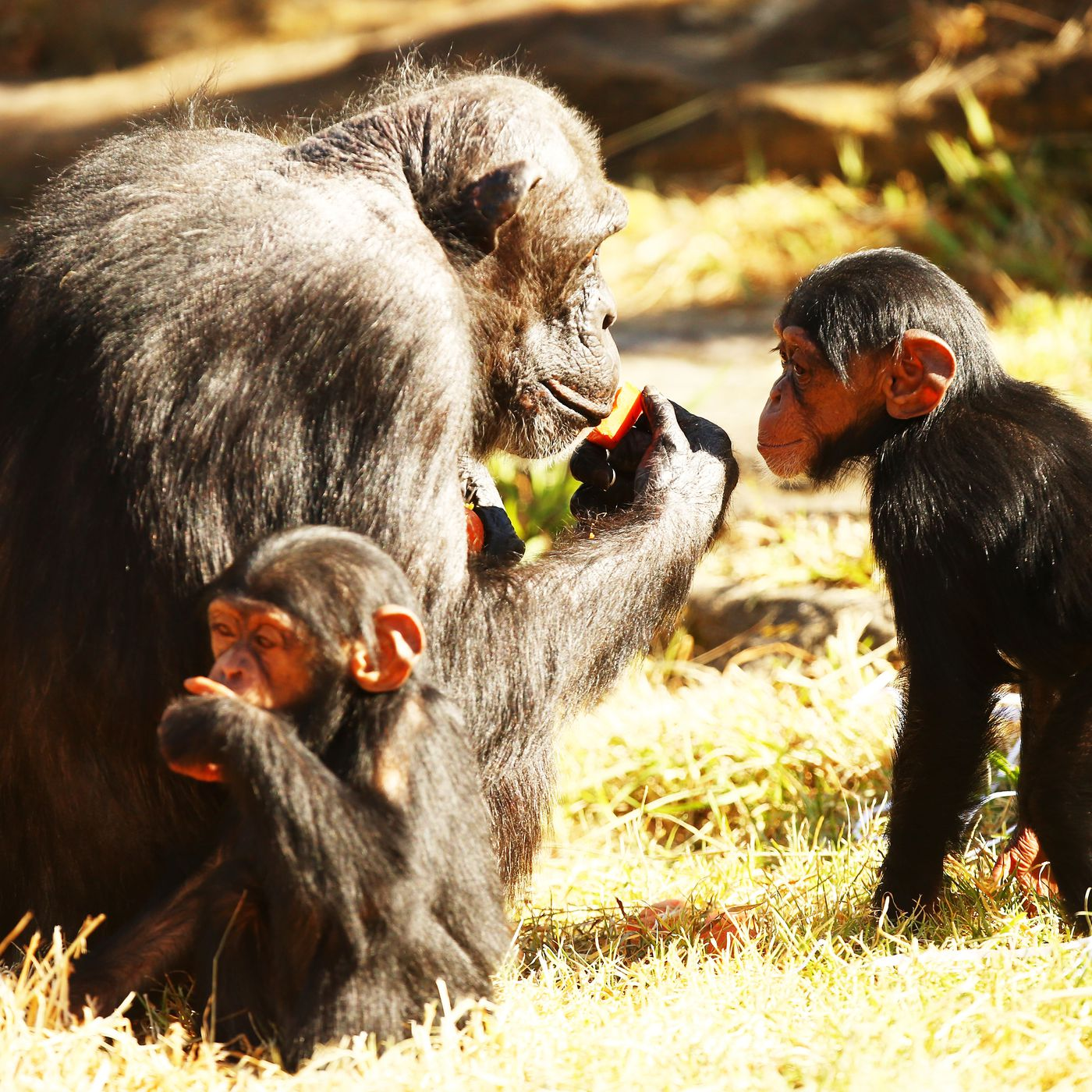 Chimpanzees recognize each other's butts the way we ...