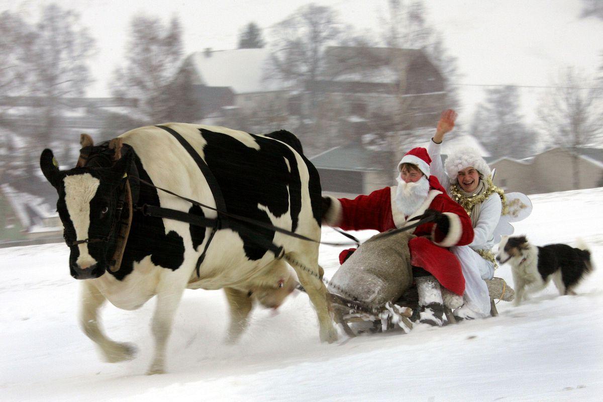 поздравление коровы с новым годом пользуются догмами, которые