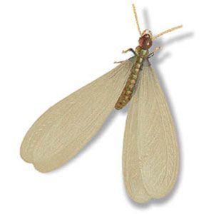 <p>Subterranean termite as swarmer</p>