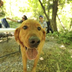 Rudy walks through a Roadhouse picnic site near Timpanogos Cave in American Fork Canyon on Tuesday, July 21, 2020. Visits to all national parks in Utah this summer are drastically down with the exception of Timpanogos Cave.