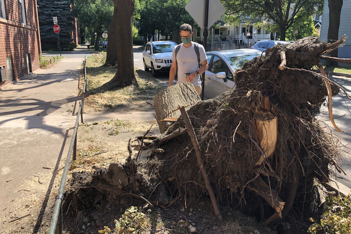 Greg Spyreas, a botanist at the University of Illinois at Urbana-Champaign, inspects what's left of a Norway maple tree that was toppled by high winds in the Aug. 10 derecho.