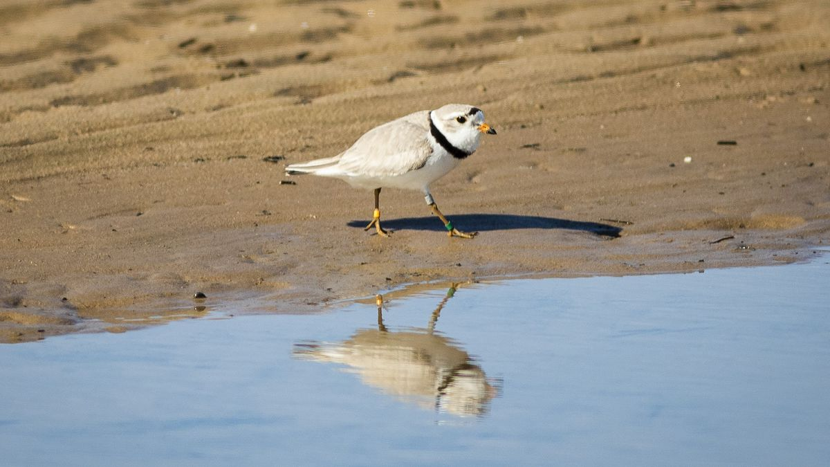 MAMBY on the Beach: Could little birds kill major lakefront music