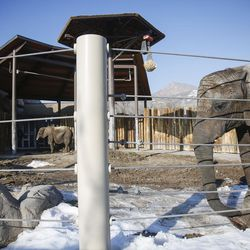 Researchers have drawn blood from many elephants in an attempt to better understand why elephants do not get cancer, including Zuri, 7, left, and Christie, right, 31, pictured here at Hogle Zoo in Salt Lake City on Tuesday, Jan. 17, 2017.